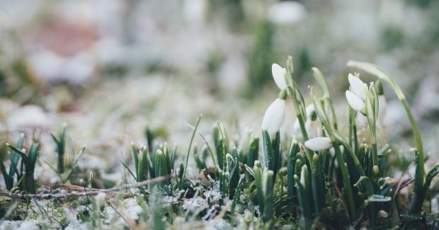 snödroppar_blogg